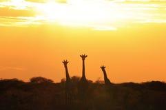 Por do sol do girafa - fundo dos animais selvagens de África - maravilhas do selvagem Imagens de Stock