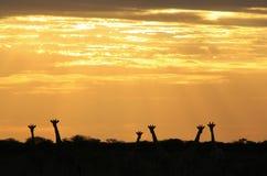 Por do sol do girafa - fundo dos animais selvagens de África - os pares da natureza Fotos de Stock Royalty Free