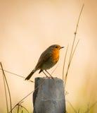 Por do sol do pássaro do pisco de peito vermelho imagem de stock