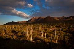 Por do sol do parque nacional de Saguaro Foto de Stock