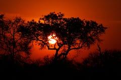 Por do sol do Savanna, parque de Kruger, África do Sul Foto de Stock
