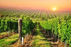 Por do sol do sol do vinhedo Imagens de Stock Royalty Free