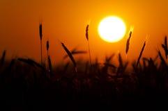 Por do sol do trigo Imagem de Stock
