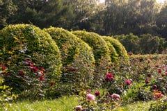 Por do sol do verão no jardim de rosas Imagens de Stock Royalty Free