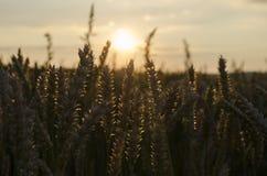 Por do sol do verão, pontos do campo de trigo Fotos de Stock