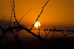 Por do sol do vinhedo Imagem de Stock