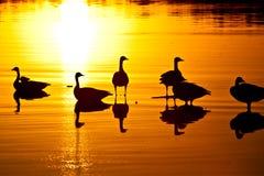 Por do sol dos gansos Fotos de Stock