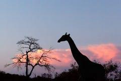 Por do sol e girafa na silhueta em África Fotografia de Stock Royalty Free