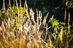 Por do sol e grama Imagem de Stock