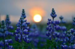 Por do sol e plantas roxas imagem de stock