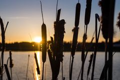 Por do sol e th dos cattails a beira do lago imagens de stock royalty free