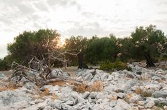 Por do sol em um bosque verde-oliva fotografia de stock royalty free