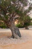 Por do sol em um bosque verde-oliva imagens de stock royalty free