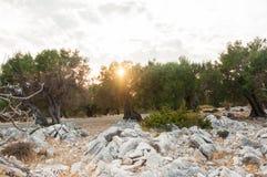 Por do sol em um bosque verde-oliva imagens de stock