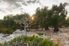 Por do sol em um bosque verde-oliva foto de stock royalty free