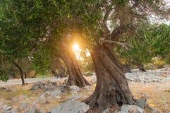 Por do sol em um bosque verde-oliva fotos de stock royalty free