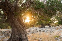 Por do sol em um bosque verde-oliva fotografia de stock