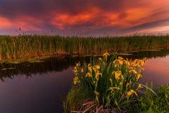 Por do sol em um rio pequeno Íris amarelas selvagens de florescência Imagens de Stock