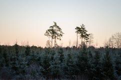 Por do sol do inverno da opinião da floresta, no campo Otanki, Letónia fotografia de stock