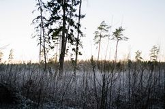 Por do sol do inverno da opinião da floresta, no campo Otanki, Letónia foto de stock royalty free