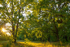 Por do sol mágico do nascer do sol da luz solar da floresta do carvalho velho fotos de stock