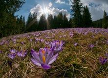 Por do sol magnífico sobre o prado da montanha com açafrões roxos de florescência bonitos Imagens de Stock Royalty Free