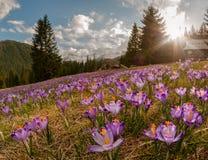 Por do sol magnífico sobre o prado da montanha com açafrões roxos de florescência bonitos Fotos de Stock Royalty Free