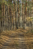 Por do sol na floresta do pinho Fotografia de Stock