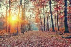 Por do sol na floresta do outono Foto de Stock