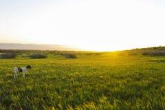 Por do sol na ilha grande com cão Fotografia de Stock Royalty Free