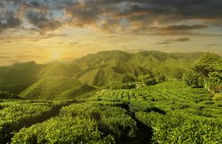 Por do sol na plantação de chá em montanhas de Cameron, Malásia imagem de stock royalty free