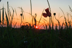 Por do sol nas gramas Imagem de Stock