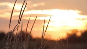 Por do sol no campo, por do sol colorido no campo, grama que balança no vento no campo vídeos de arquivo