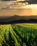 Por do sol no campo da grão Fotografia de Stock Royalty Free