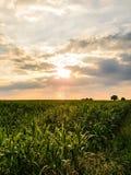 Por do sol no campo do milho Composição da natureza Imagens de Stock Royalty Free