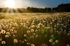 Por do sol no prado do dente-de-leão Imagens de Stock Royalty Free