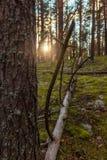 Por do sol Noite na floresta do pinho Imagens de Stock Royalty Free