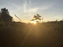 Por do sol que repica através de uma erva daninha que vem acima do campo Imagem de Stock Royalty Free