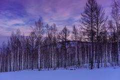Por do sol roxo sobre a floresta do vidoeiro Fotografia de Stock Royalty Free