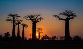 Por do sol sobre a aleia dos baobabs, Madagáscar Fotografia de Stock
