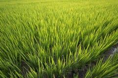 Por do sol sobre a exploração agrícola do arroz Imagem de Stock