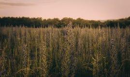 Por do sol sobre o campo de flor Imagem de Stock Royalty Free
