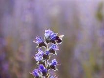 Por do sol sobre o campo de flor Fotografia de Stock Royalty Free