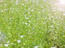 Por do sol sobre o campo de florescência do linho Foto de Stock Royalty Free