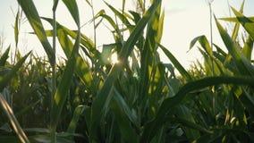 Por do sol sobre o campo de milho Milho no sol filme