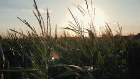 Por do sol sobre o campo de milho Milho no sol video estoque