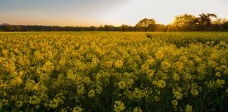Por do sol sobre o campo do rapeseed foto de stock royalty free