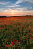 Por do sol sobre papoilas, Polly Joke, Pentire ocidental, Cornualha imagem de stock royalty free