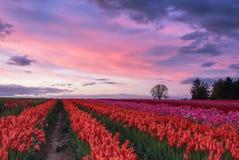 Por do sol sobre tulipas fotos de stock royalty free