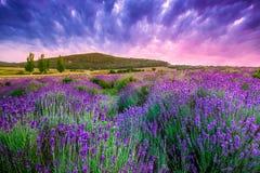 Por do sol sobre um campo da alfazema do verão em Tihany, Hungria Imagens de Stock